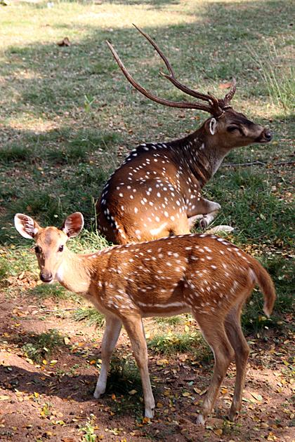 Chilling Deer