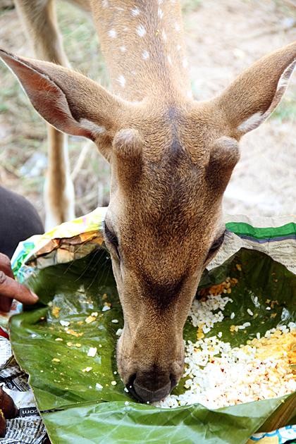 Curry Eating Deer