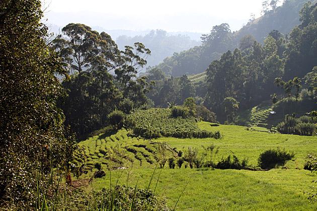 Rice Fields Sri Lanka