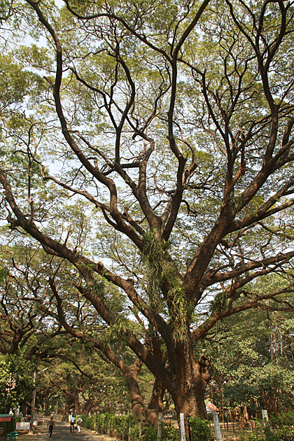 Great Trees Trincomalee