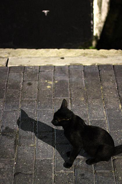 Galle Cat