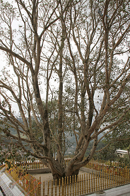Bo bo Tree