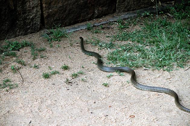 Anuradhapura-Snake