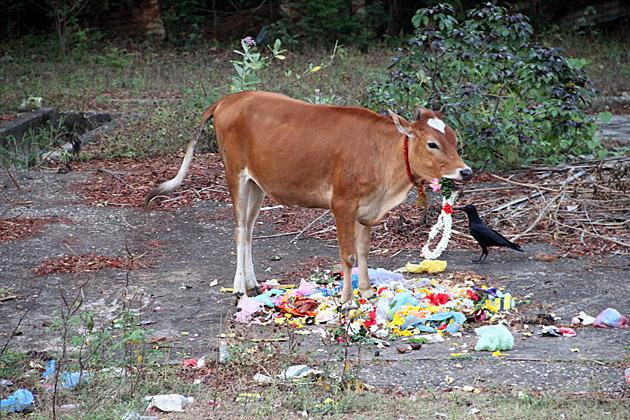 Much Cow