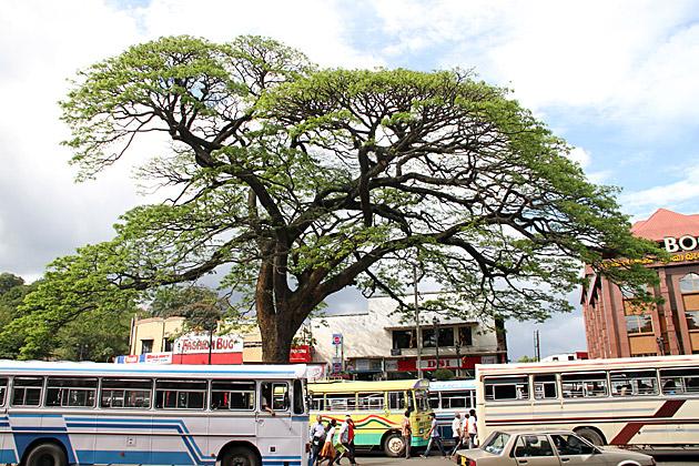 Kandy Tree