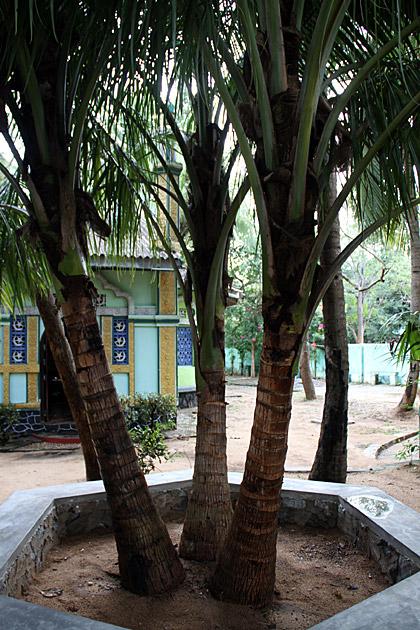 3-in-One-Palm-Tree-Wonder