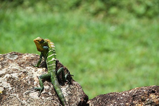 Cameleon-Lizzard-in-Sri-Lanka