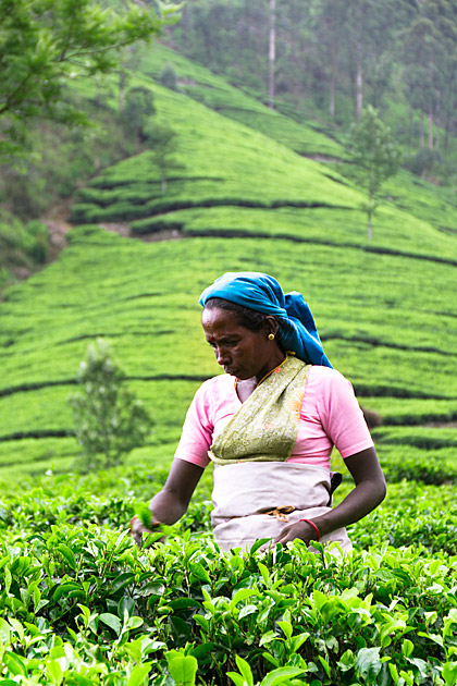 Tamil Tea Picker
