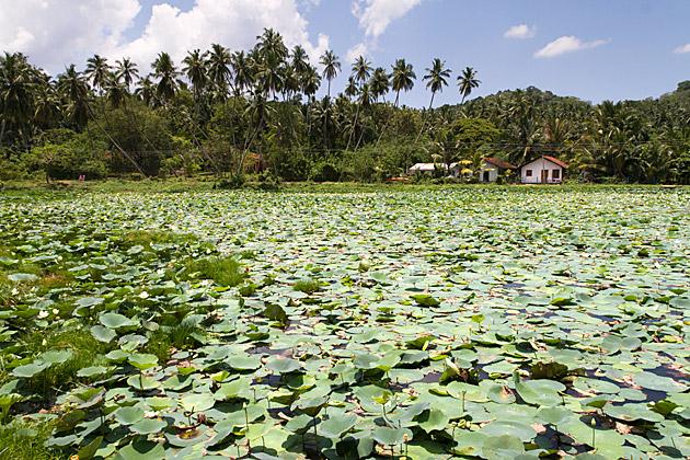 Lilli Pad Pond