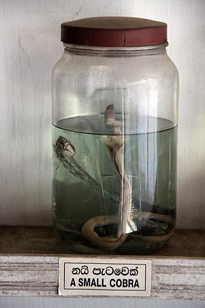 Small Cobra