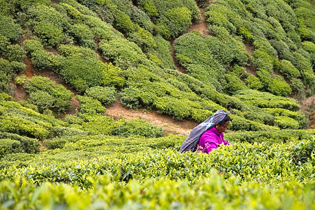 Picking Tea In Sri Lanka