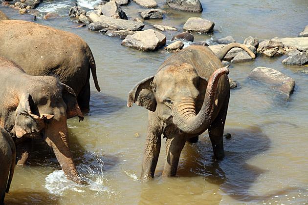 Elephant Pooping