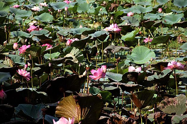 Lotus Lake Sri Lanka