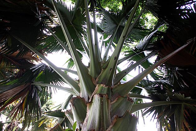 Giant-Sri-Lankan-Palm-Tree