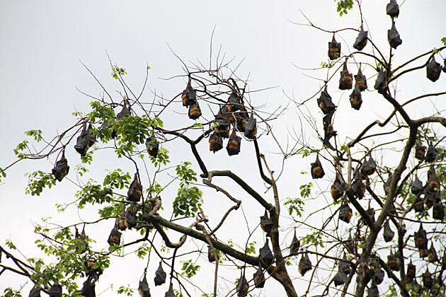 Snorring Bats