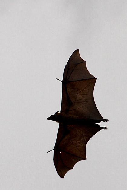 Sri Lanka Bat