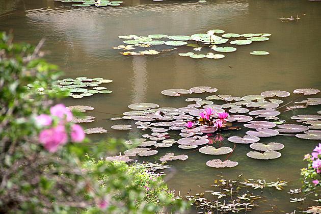 Sri-Lankan-Sea-Lilly