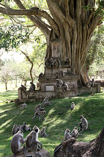 Crazy-Monkeys-in-Sri-Lanka