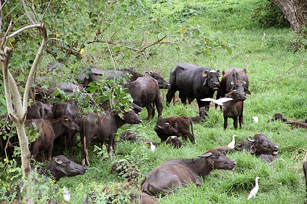 Sri-Lankan-Water-Buffalos