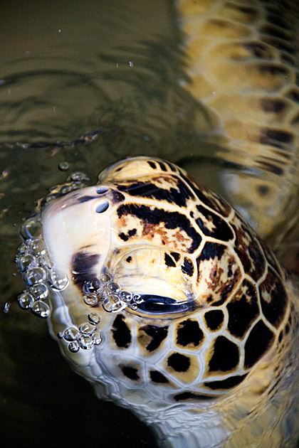 Turtle Bubbles