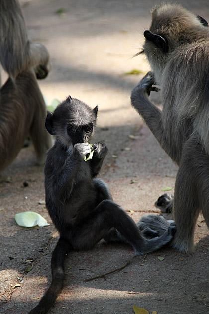 Posing Monkey