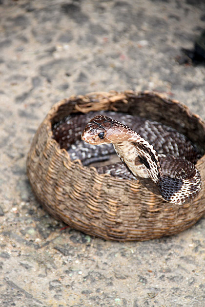 Sri Lankan Cobras