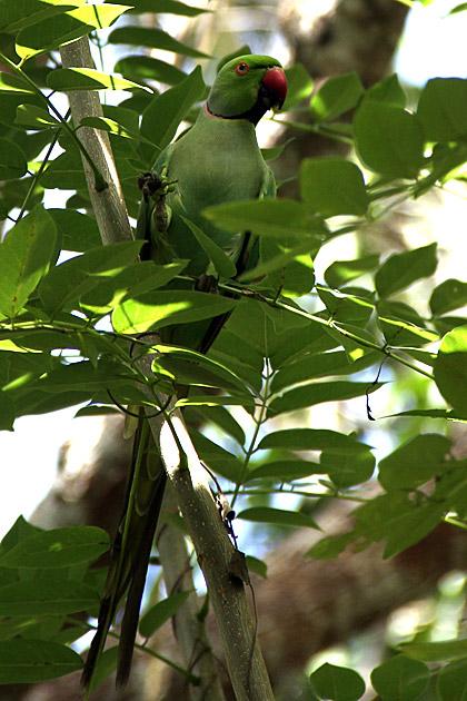 Sri Lanka Parrot