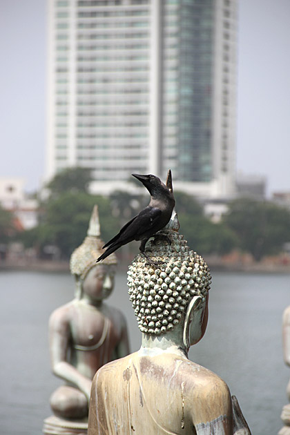 Buddhist Crow