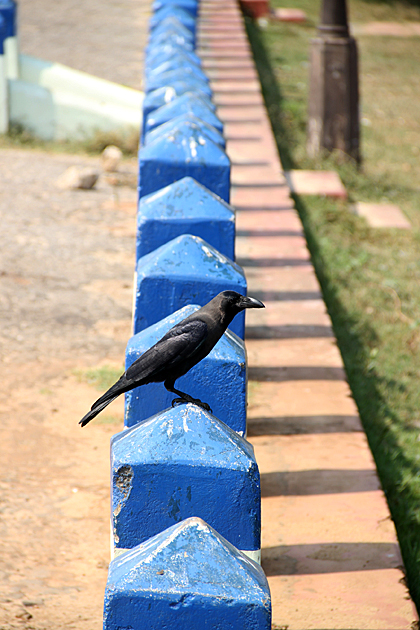 Trincomalee Raven