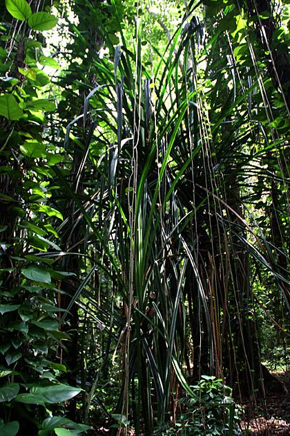 Huge Jungle Plant