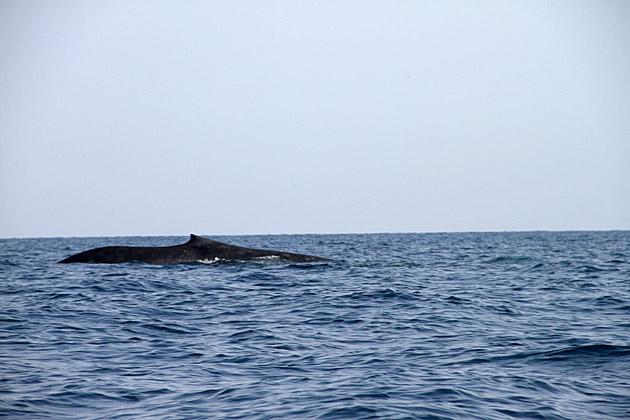 Sperm Whale Sri Lanka