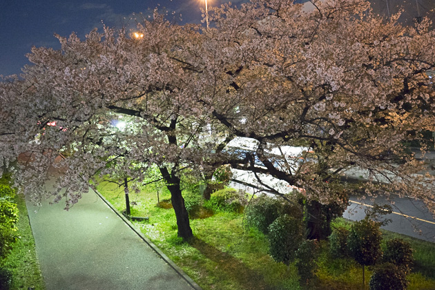 Sakura Sumida River Park