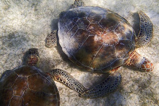 Turtles Akumal